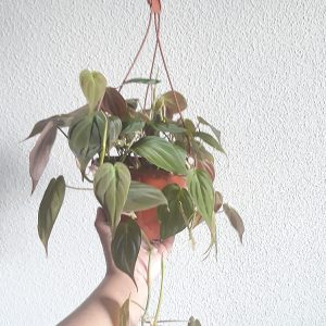 Philodendron Hedereceum Micans