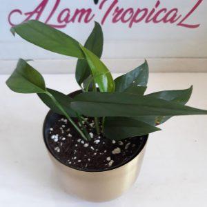 Epipremnum Pinnatum Green