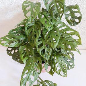 Monstera Adansonii / Monkey Leaf