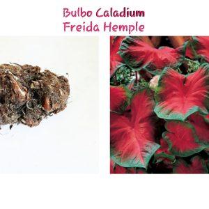 Bulbo Caladium Freida Hemple