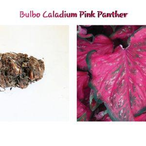 Bulbo Caladium Pink Panther