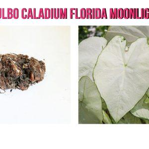 Bulbo Caladium Florida Moonlight