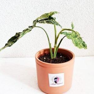 Syngonium Mojito