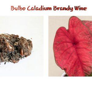 Bulbo Caladium Brandy Wine
