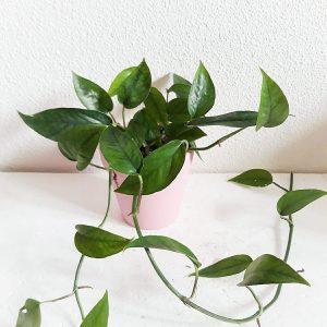 Epipremnum Pinnatum Green grande