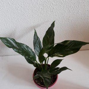Spathiphyllum Domino