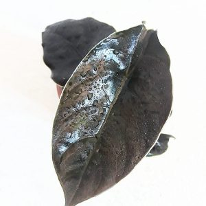 Alocasia Azlanii