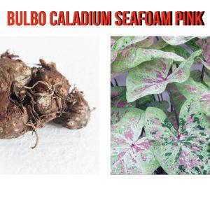 Bulbo Caladium Seafoam Pink