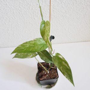 Epipremnum Pinnatum variegata pequeña