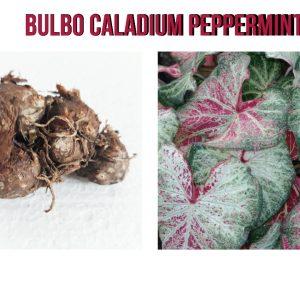 Bulbo Caladium Peppermint