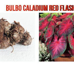 Bulbo Caladium Red Flash