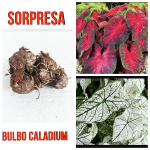 Bulbo Caladium sorpresa!