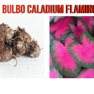 Bulbo Caladium Flamingo