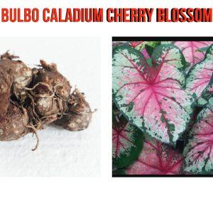Bulbo Caladium Cherry Blossom