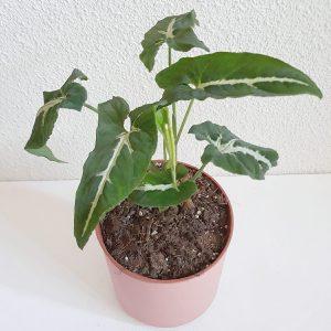 Syngonium Wendlandii pequeña