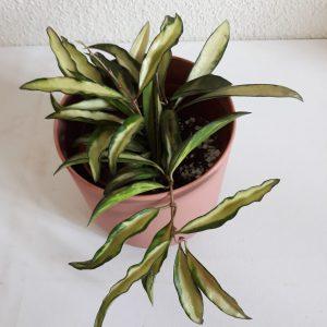 Hoya Wayetii variegata