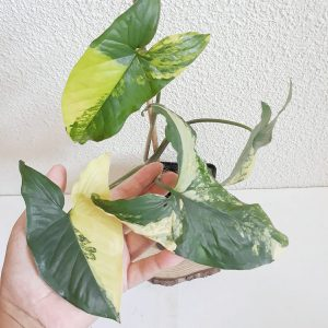 Syngonium Aurea
