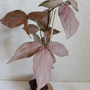 Syngonium Regina