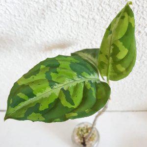 Aglaonema Pictum Tricolor pequeña