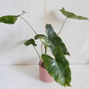 Philodendron Burlemarx Variegata 02