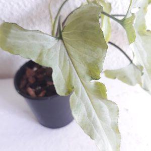 Syngonium Ngern Lai Ma