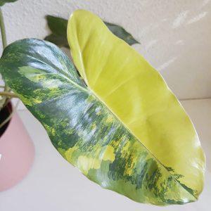 Philodendron Burlemarx Variegata 01