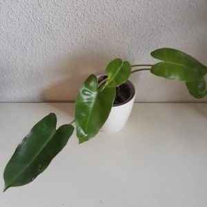 Philodendron Burlemarx Green